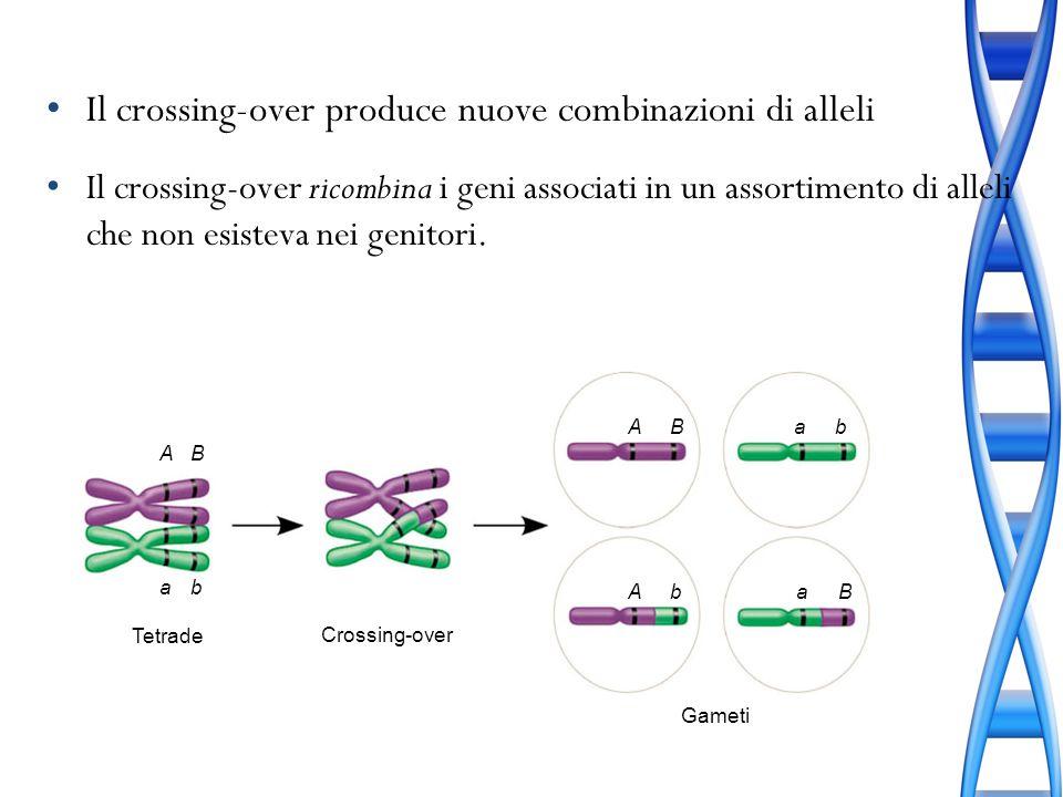 Il crossing-over produce nuove combinazioni di alleli Il crossing-over ricombina i geni associati in un assortimento di alleli che non esisteva nei ge