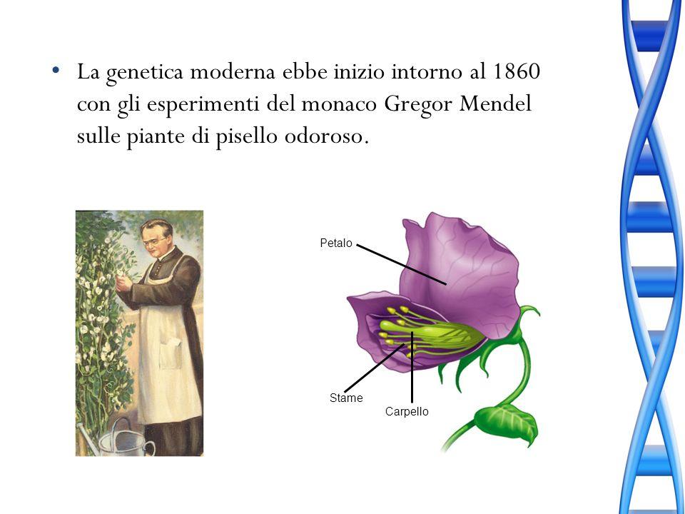 La genetica moderna ebbe inizio intorno al 1860 con gli esperimenti del monaco Gregor Mendel sulle piante di pisello odoroso. Petalo Carpello Stame