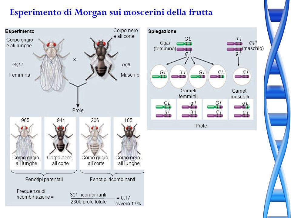 Esperimento di Morgan sui moscerini della frutta Esperimento Corpo grigio e ali lunghe GgLI Femmina Corpo nero e ali corte ggll Maschio Prole Corpo gr