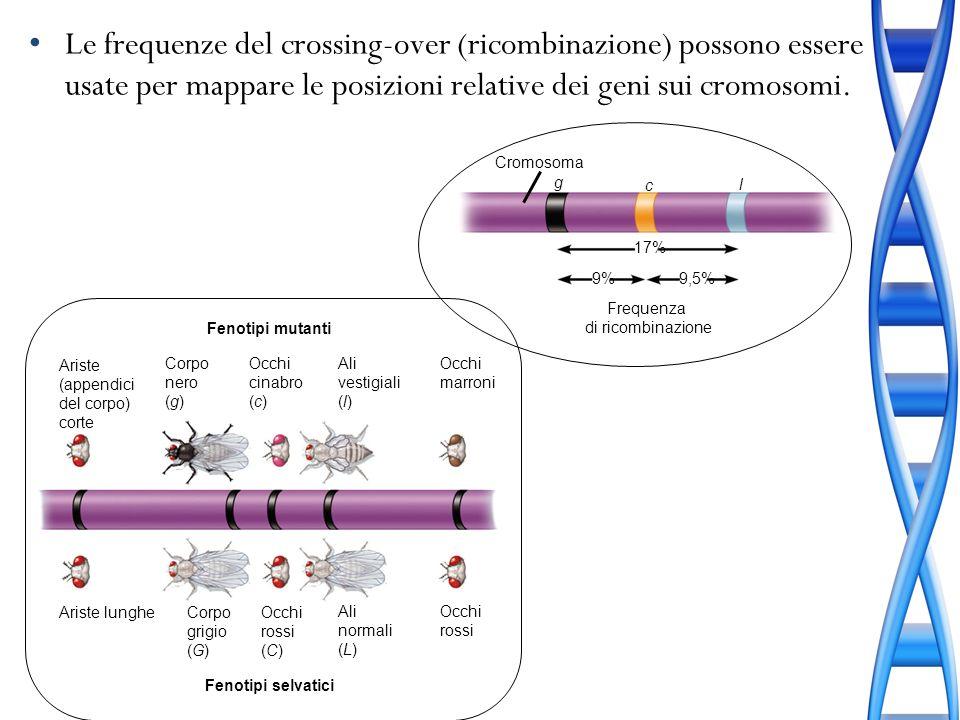 Le frequenze del crossing-over (ricombinazione) possono essere usate per mappare le posizioni relative dei geni sui cromosomi. Cromosoma g c l 9%9,5%