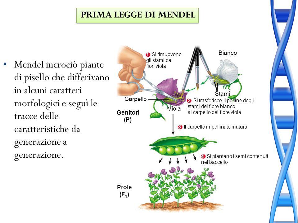 Mendel ipotizzò che esistessero forme alternative di geni, le unità che determinano le caratteristiche ereditabili.