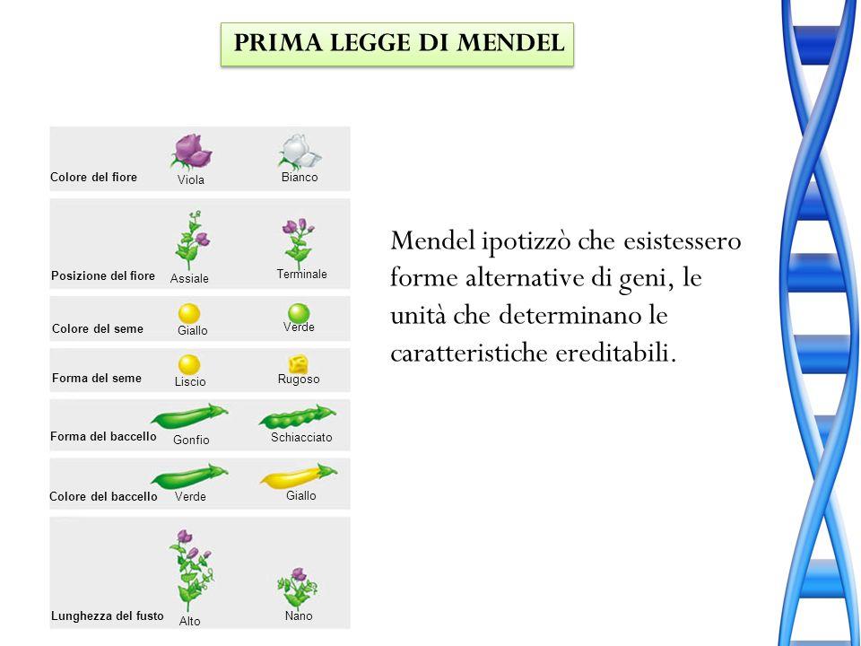 Mendel ipotizzò che esistessero forme alternative di geni, le unità che determinano le caratteristiche ereditabili. Colore del fiore Posizione del fio