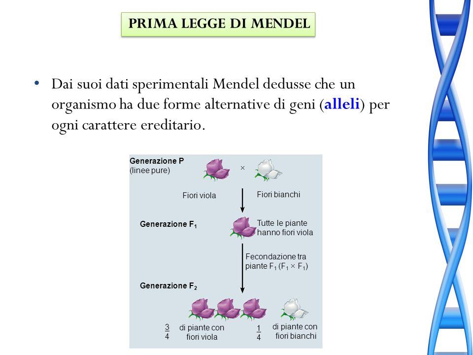 Dai suoi dati sperimentali Mendel dedusse che un organismo ha due forme alternative di geni (alleli) per ogni carattere ereditario. Generazione P (lin
