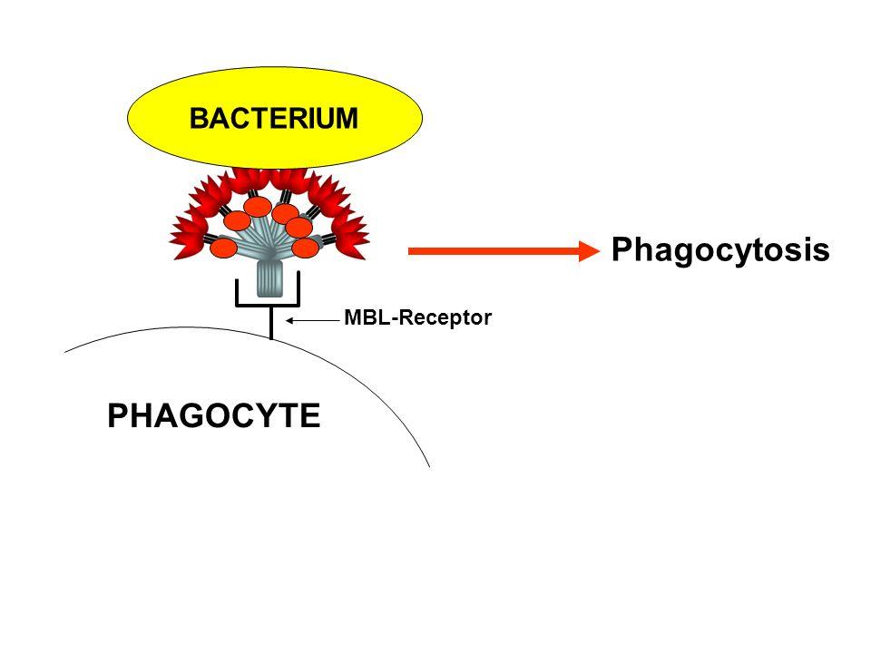 BACTERIUM Phagocytosis MBL-Receptor PHAGOCYTE