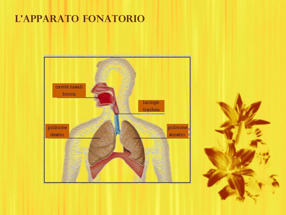 cavità nasali bocca polmone destro polmone sinistro laringe trachea Lapparato fonatorio