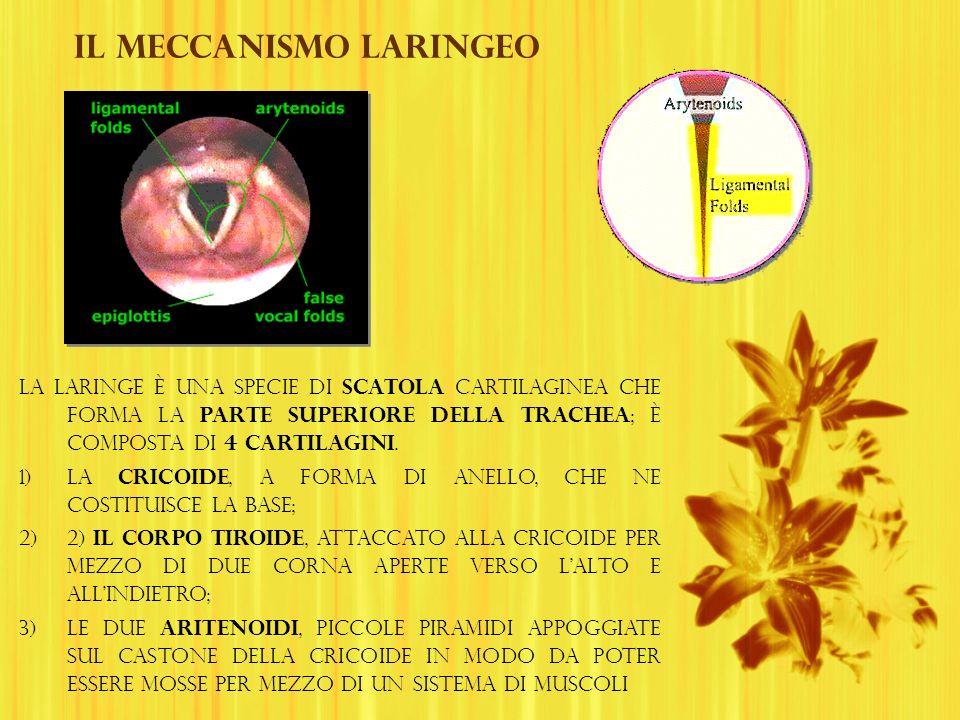 Il meccanismo laringeo La laringe è una specie di scatola cartilaginea che forma la parte superiore della trachea ; è composta di 4 cartilagini. 1)la