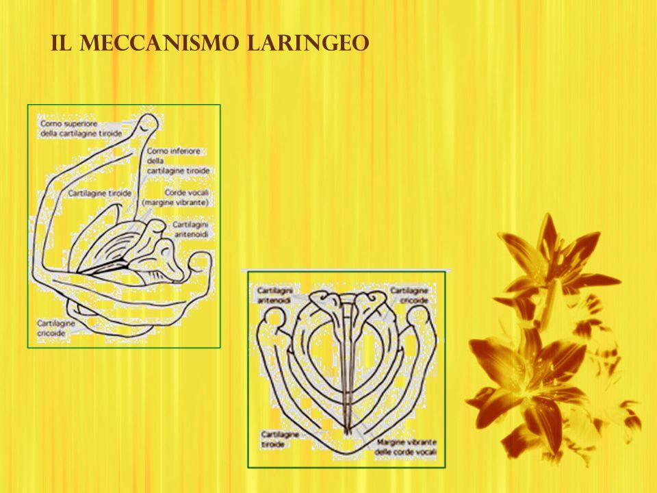 Il meccanismo laringeo
