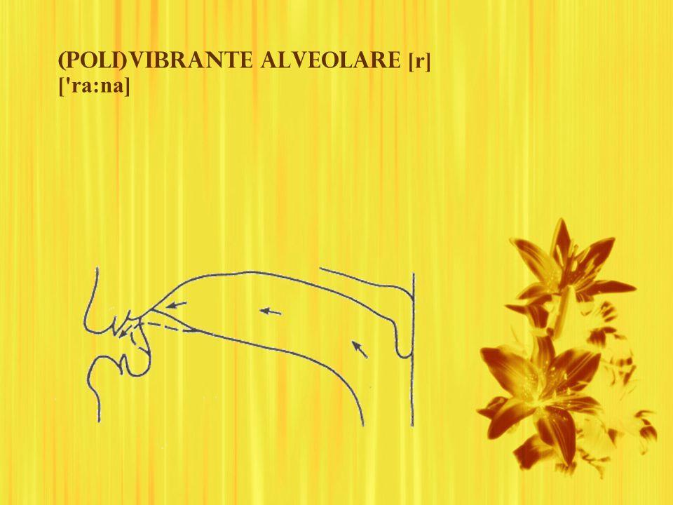 (Poli)vibrante alveolare [r] ['ra:na]