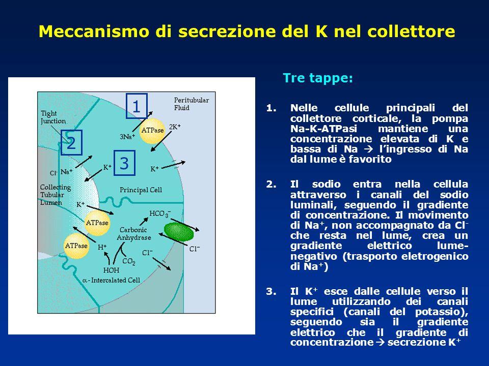 Meccanismo di secrezione del K nel collettore Tre tappe: 1.Nelle cellule principali del collettore corticale, la pompa Na-K-ATPasi mantiene una concen