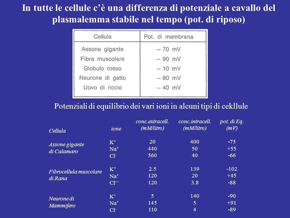 Conseguenze: Viene prodotta una differenza di potenziale transmembranaria ΔV stabile nel tempo; La concentrazione totale degli ioni diffusibili (K + e