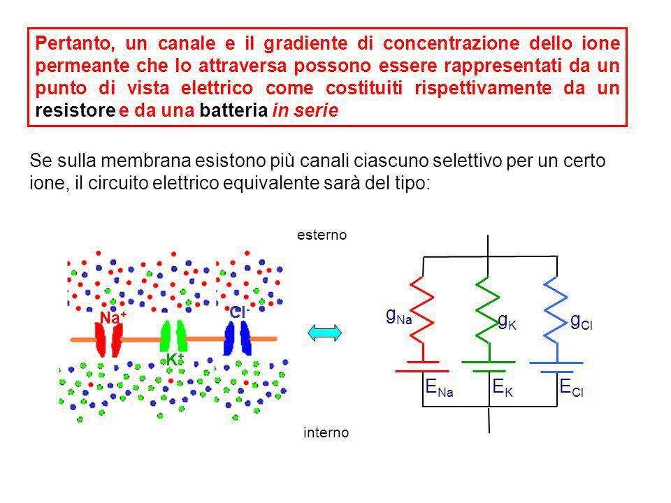 In seguito allapertura del canale selettivo per il Na + vi sarà un flusso di corrente (I Na ) generato dal gradiente di concentrazione dellNa +, cioè