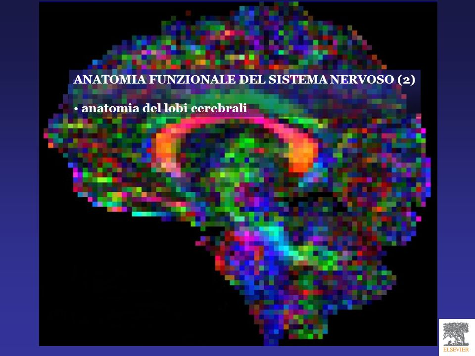 ANATOMIA FUNZIONALE DEL SISTEMA NERVOSO (2) anatomia del lobi cerebrali