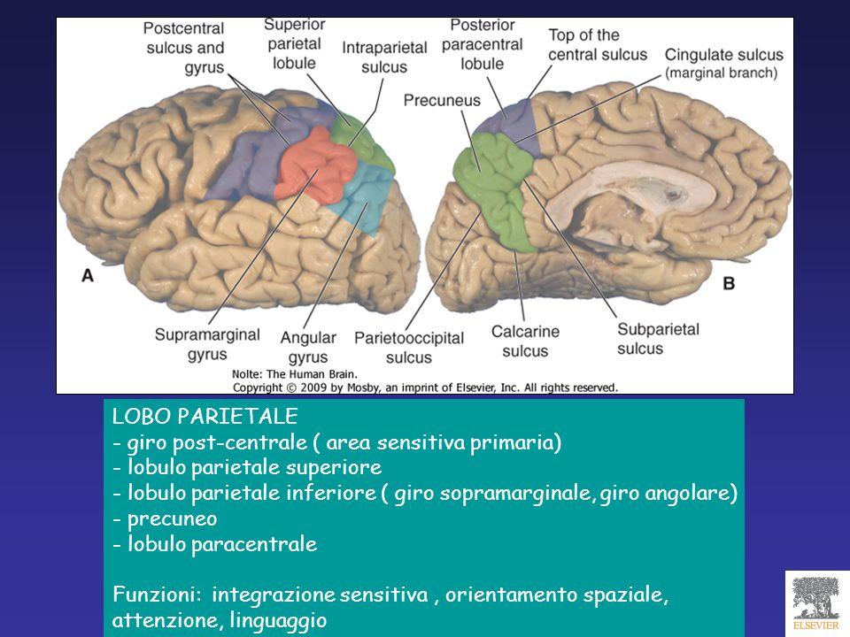 LOBO PARIETALE - giro post-centrale ( area sensitiva primaria) - lobulo parietale superiore - lobulo parietale inferiore ( giro sopramarginale, giro a