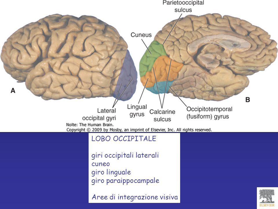 LOBO OCCIPITALE giri occipitali laterali cuneo giro linguale giro paraippocampale Aree di integrazione visiva