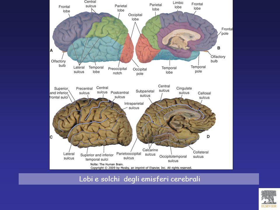 tre aree anatomofunzionali prefrontali: corteccia frontale dorsolaterale Funzioni esecutive corteccia fronto-orbitaria Funzioni di controllo/inibizione corteccia frontale mediale Motivazione/attivazione LOBO FRONTALE