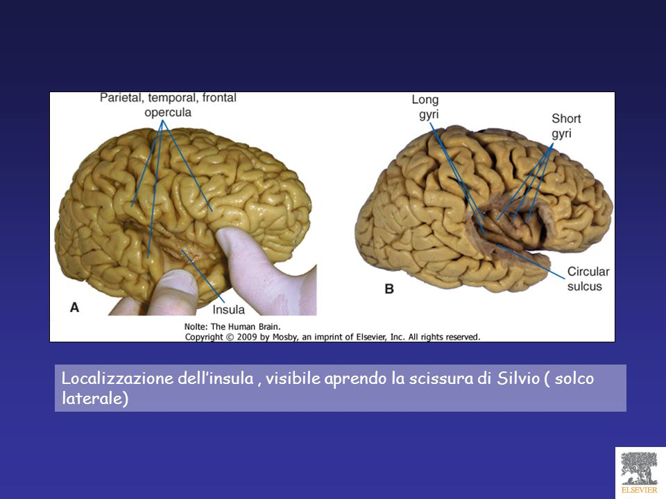 LOBO LIMBICO giro del cingolo giro paraippocampale giro paraterminale ( lamina terminalis) giro subcallosale ippocampo, paraippocampo, uncus Emozioni, apprendimento, memoria