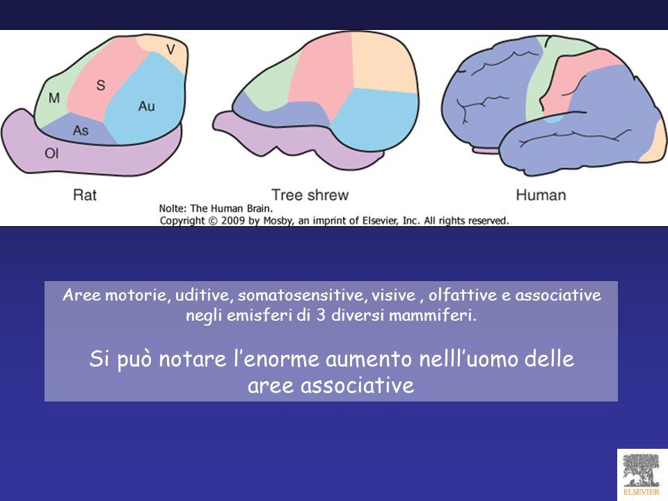 Aree motorie, uditive, somatosensitive, visive, olfattive e associative negli emisferi di 3 diversi mammiferi. Si può notare lenorme aumento nellluomo