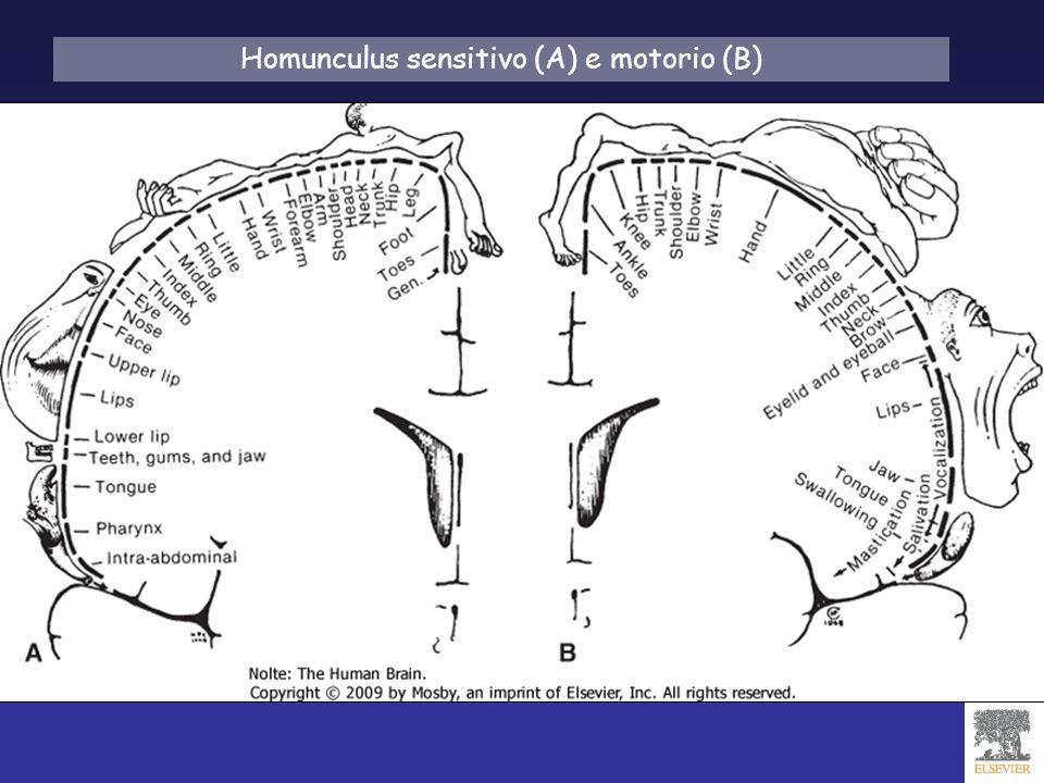 Homunculus sensitivo (A) e motorio (B)