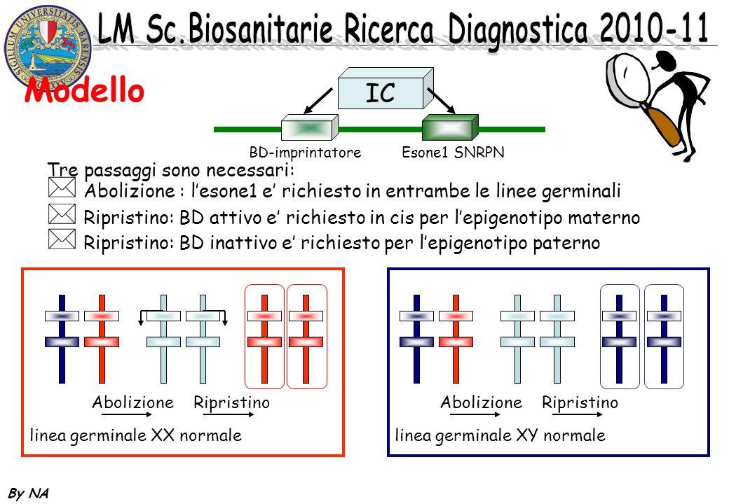 By NA Modello IC BD-imprintatoreEsone1 SNRPN Tre passaggi sono necessari: * Abolizione : lesone1 e richiesto in entrambe le linee germinali * Ripristi