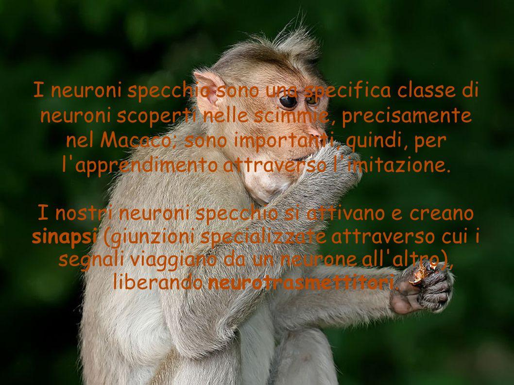 I neuroni specchio sono una specifica classe di neuroni scoperti nelle scimmie, precisamente nel Macaco; sono importanti, quindi, per l'apprendimento
