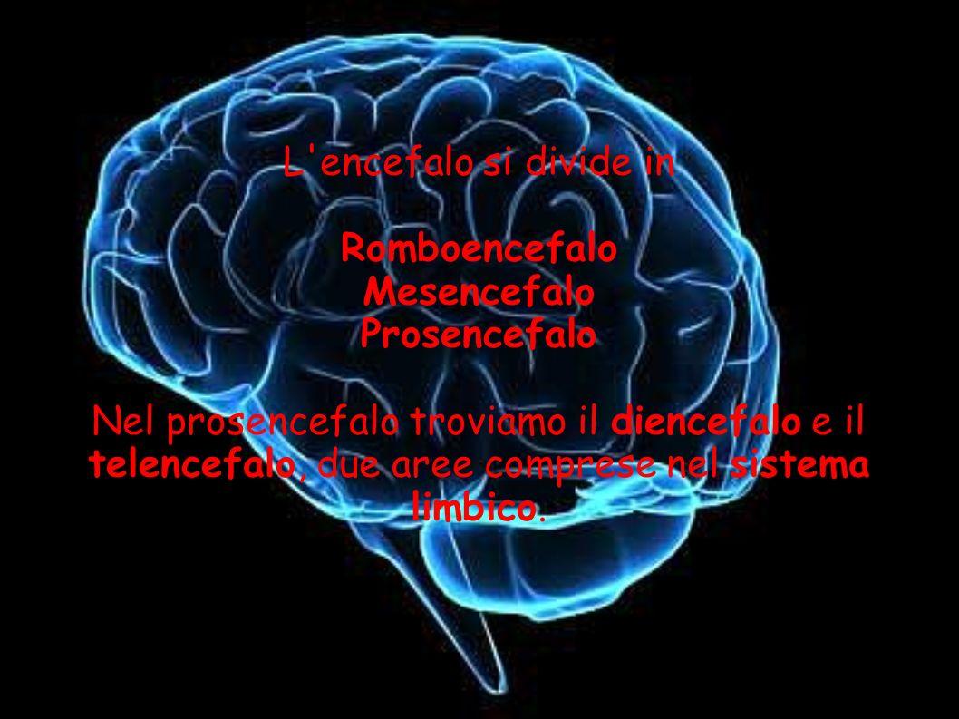 L'encefalo si divide in Romboencefalo Mesencefalo Prosencefalo Nel prosencefalo troviamo il diencefalo e il telencefalo, due aree comprese nel sistema