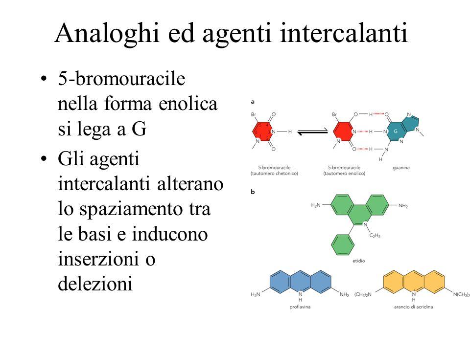 Analoghi ed agenti intercalanti 5-bromouracile nella forma enolica si lega a G Gli agenti intercalanti alterano lo spaziamento tra le basi e inducono