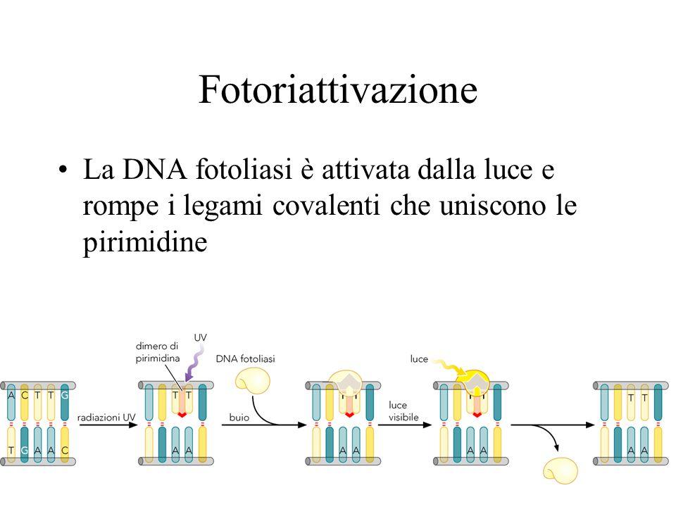 Fotoriattivazione La DNA fotoliasi è attivata dalla luce e rompe i legami covalenti che uniscono le pirimidine
