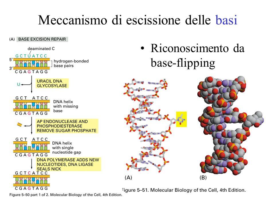 Meccanismo di escissione delle basi Riconoscimento da base-flipping