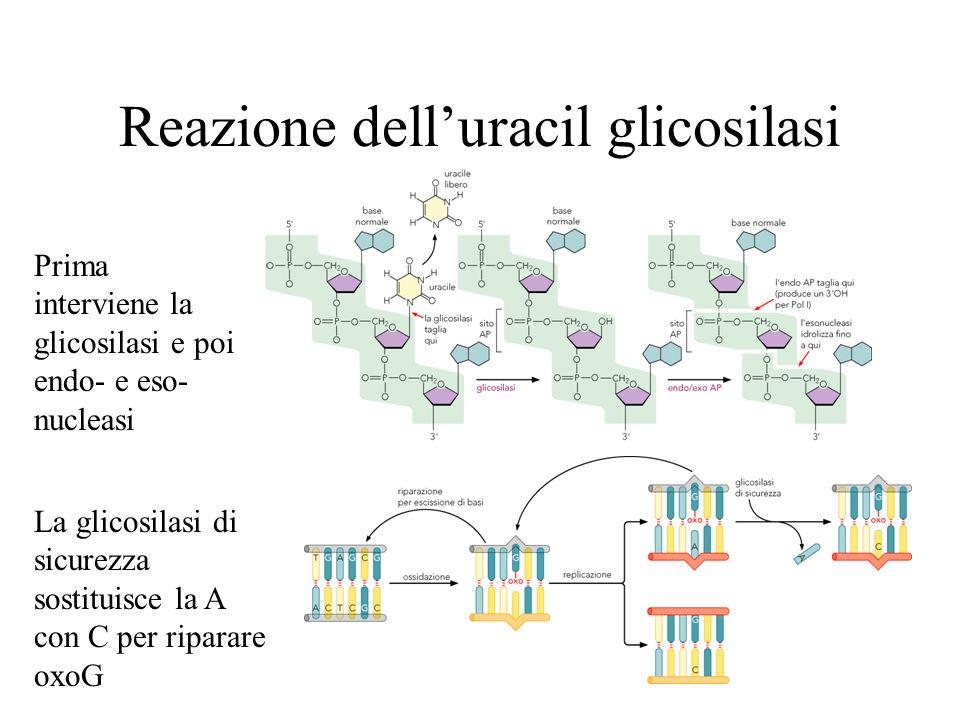 Reazione delluracil glicosilasi La glicosilasi di sicurezza sostituisce la A con C per riparare oxoG Prima interviene la glicosilasi e poi endo- e eso