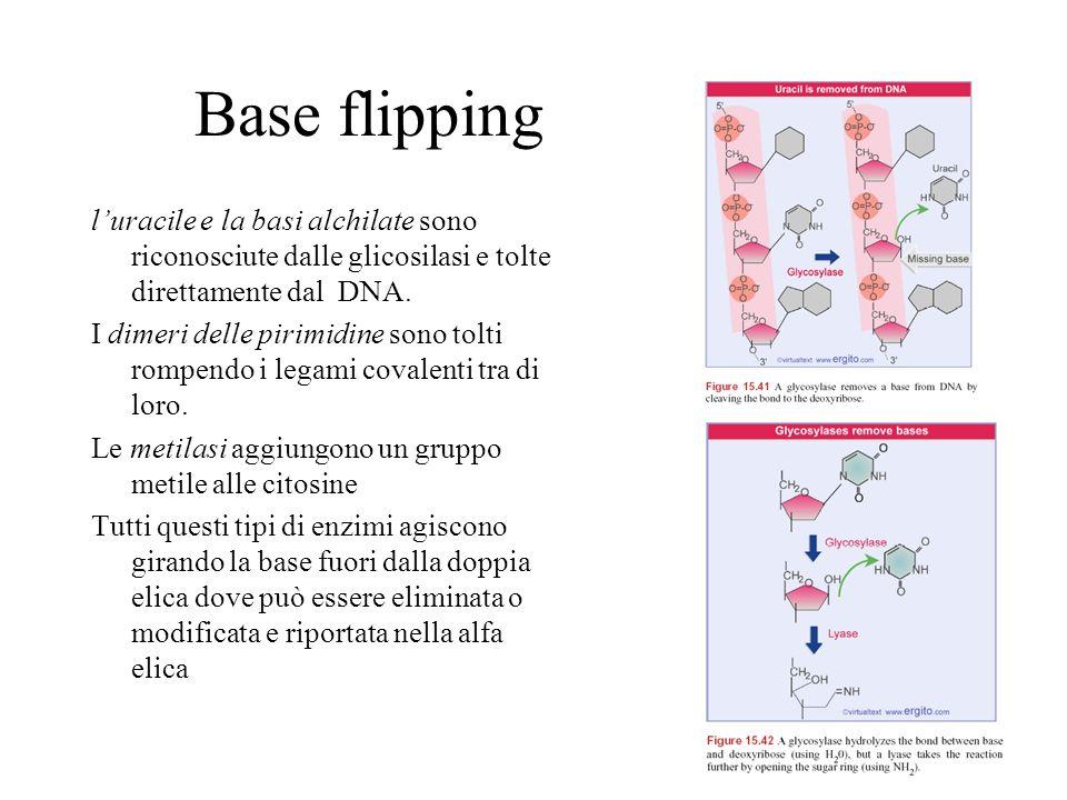 Base flipping luracile e la basi alchilate sono riconosciute dalle glicosilasi e tolte direttamente dal DNA. I dimeri delle pirimidine sono tolti romp
