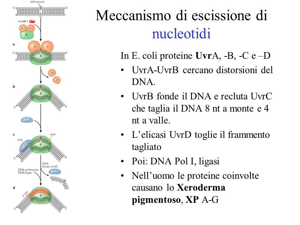 Meccanismo di escissione di nucleotidi In E. coli proteine UvrA, -B, -C e –D UvrA-UvrB cercano distorsioni del DNA. UvrB fonde il DNA e recluta UvrC c