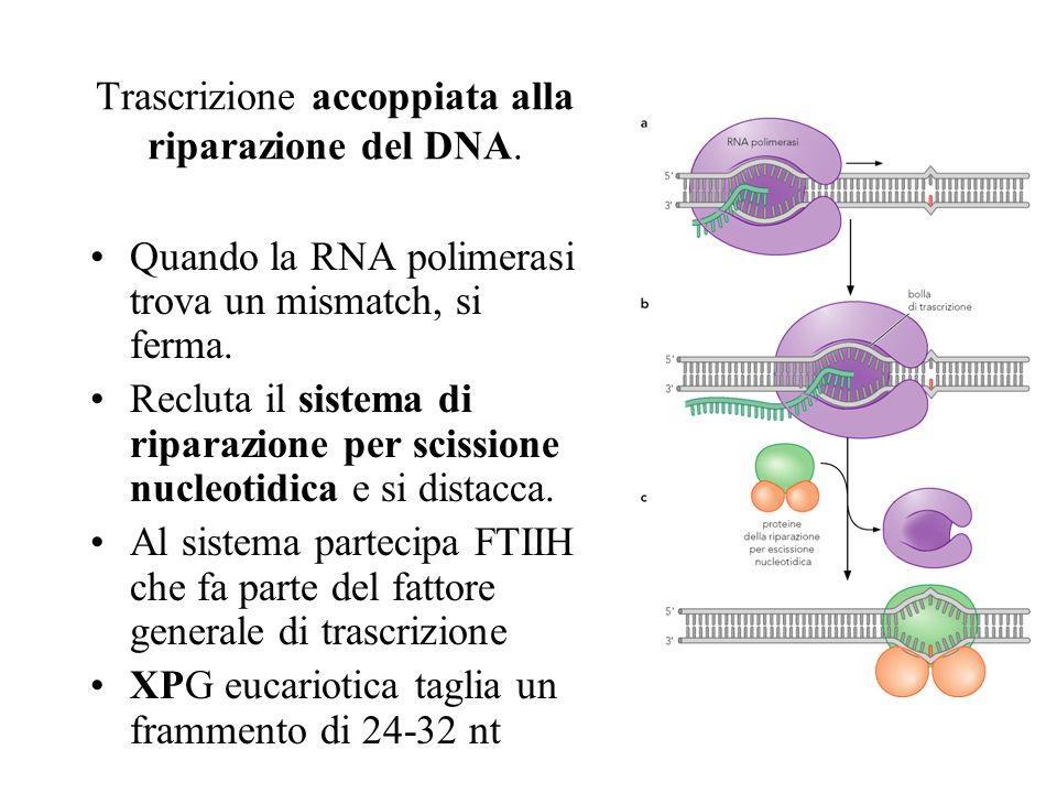 Trascrizione accoppiata alla riparazione del DNA. Quando la RNA polimerasi trova un mismatch, si ferma. Recluta il sistema di riparazione per scission