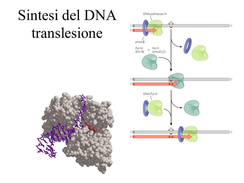 Sintesi del DNA translesione