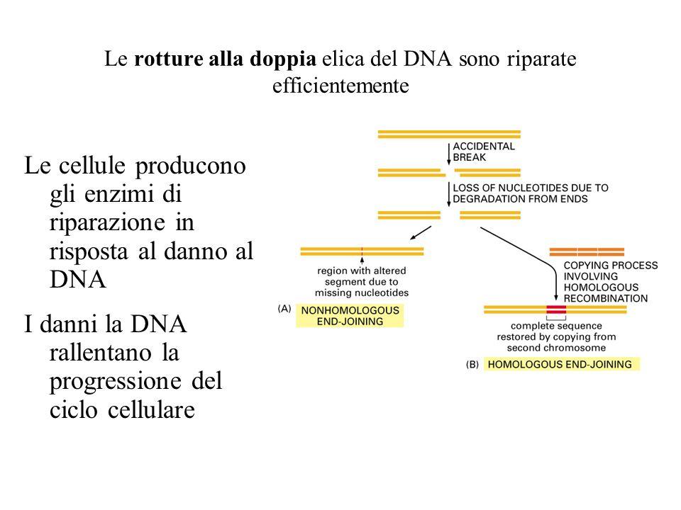 Le rotture alla doppia elica del DNA sono riparate efficientemente Le cellule producono gli enzimi di riparazione in risposta al danno al DNA I danni