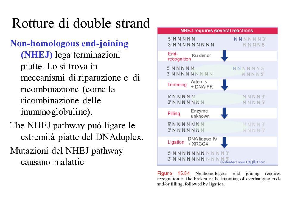 Rotture di double strand Non-homologous end-joining (NHEJ) lega terminazioni piatte. Lo si trova in meccanismi di riparazione e di ricombinazione (com