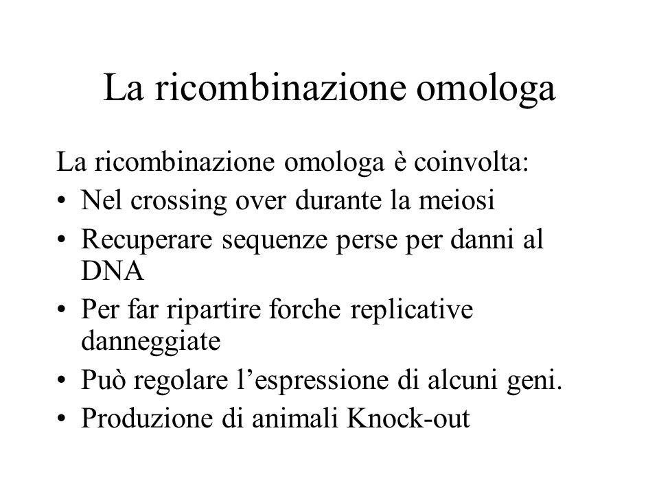 La ricombinazione omologa La ricombinazione omologa è coinvolta: Nel crossing over durante la meiosi Recuperare sequenze perse per danni al DNA Per fa