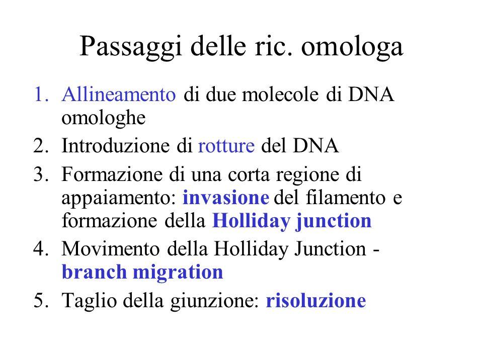 Passaggi delle ric. omologa 1.Allineamento di due molecole di DNA omologhe 2.Introduzione di rotture del DNA 3.Formazione di una corta regione di appa