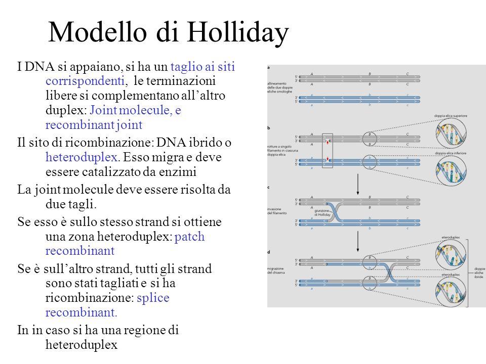 Modello di Holliday I DNA si appaiano, si ha un taglio ai siti corrispondenti, le terminazioni libere si complementano allaltro duplex: Joint molecule
