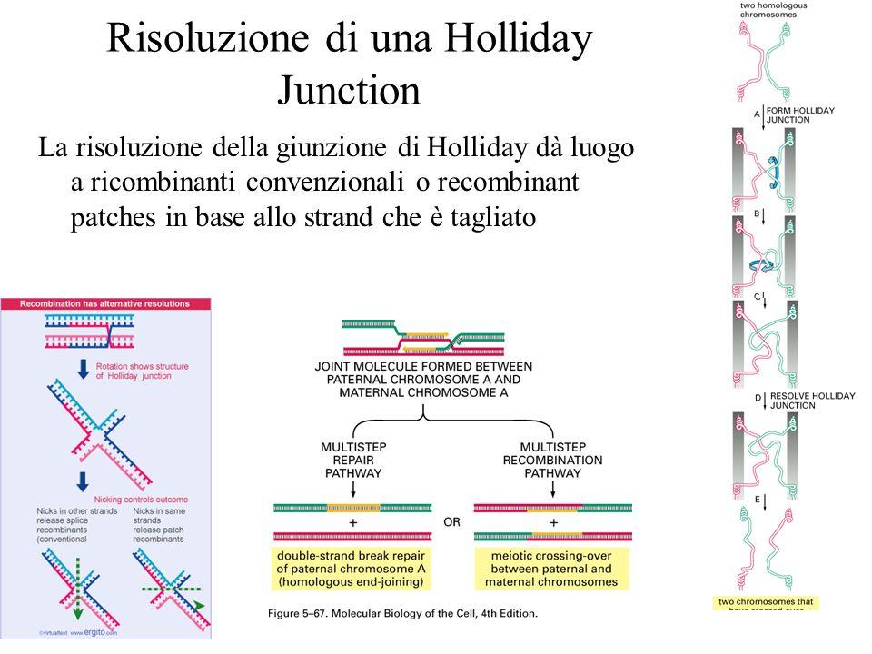 Risoluzione di una Holliday Junction La risoluzione della giunzione di Holliday dà luogo a ricombinanti convenzionali o recombinant patches in base al