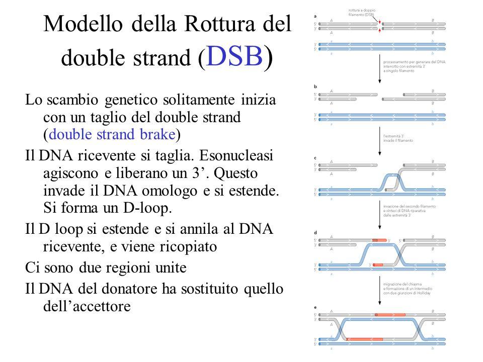 Modello della Rottura del double strand ( DSB) Lo scambio genetico solitamente inizia con un taglio del double strand (double strand brake) Il DNA ric