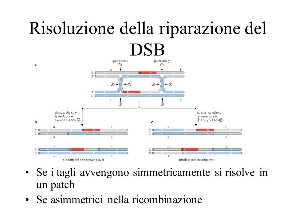 Risoluzione della riparazione del DSB Se i tagli avvengono simmetricamente si risolve in un patch Se asimmetrici nella ricombinazione