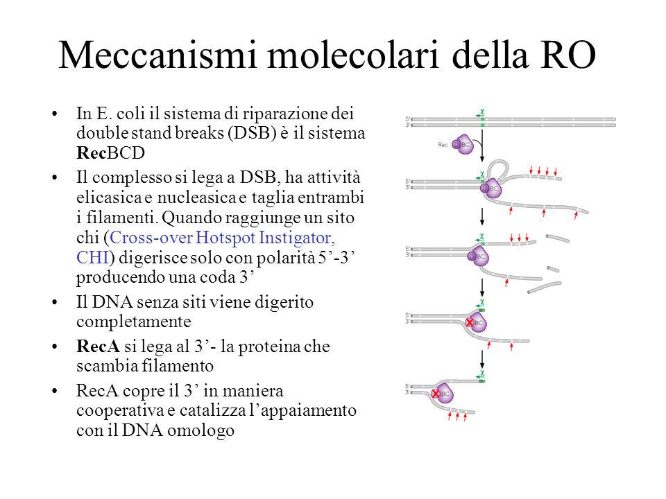 Meccanismi molecolari della RO In E. coli il sistema di riparazione dei double stand breaks (DSB) è il sistema RecBCD Il complesso si lega a DSB, ha a