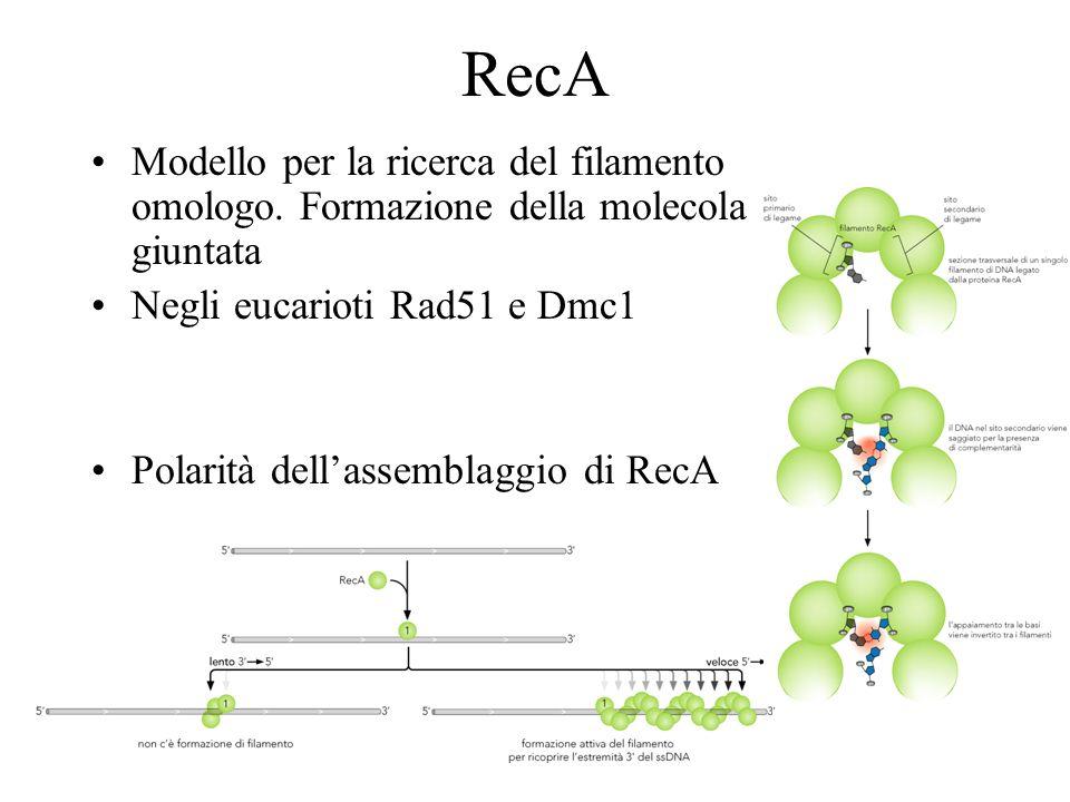 Modello per la ricerca del filamento omologo. Formazione della molecola giuntata Negli eucarioti Rad51 e Dmc1 Polarità dellassemblaggio di RecA