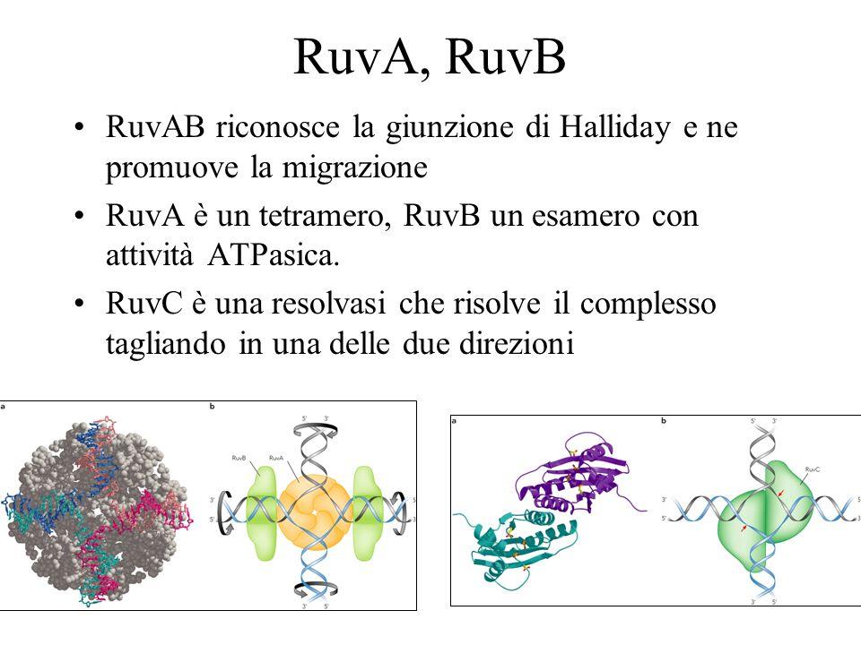 RuvA, RuvB RuvAB riconosce la giunzione di Halliday e ne promuove la migrazione RuvA è un tetramero, RuvB un esamero con attività ATPasica. RuvC è una