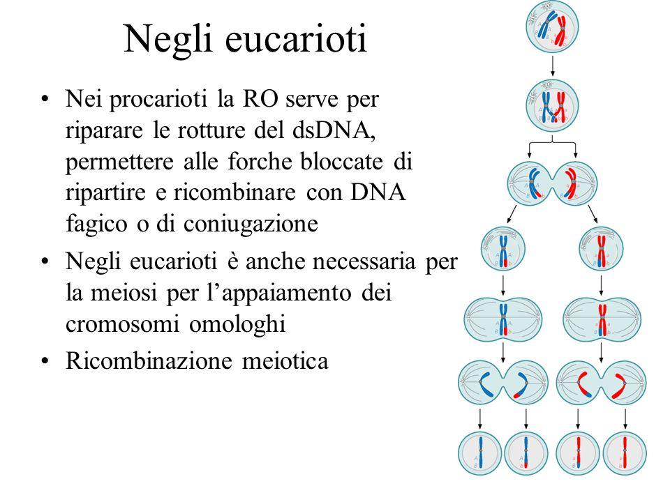 Negli eucarioti Nei procarioti la RO serve per riparare le rotture del dsDNA, permettere alle forche bloccate di ripartire e ricombinare con DNA fagic