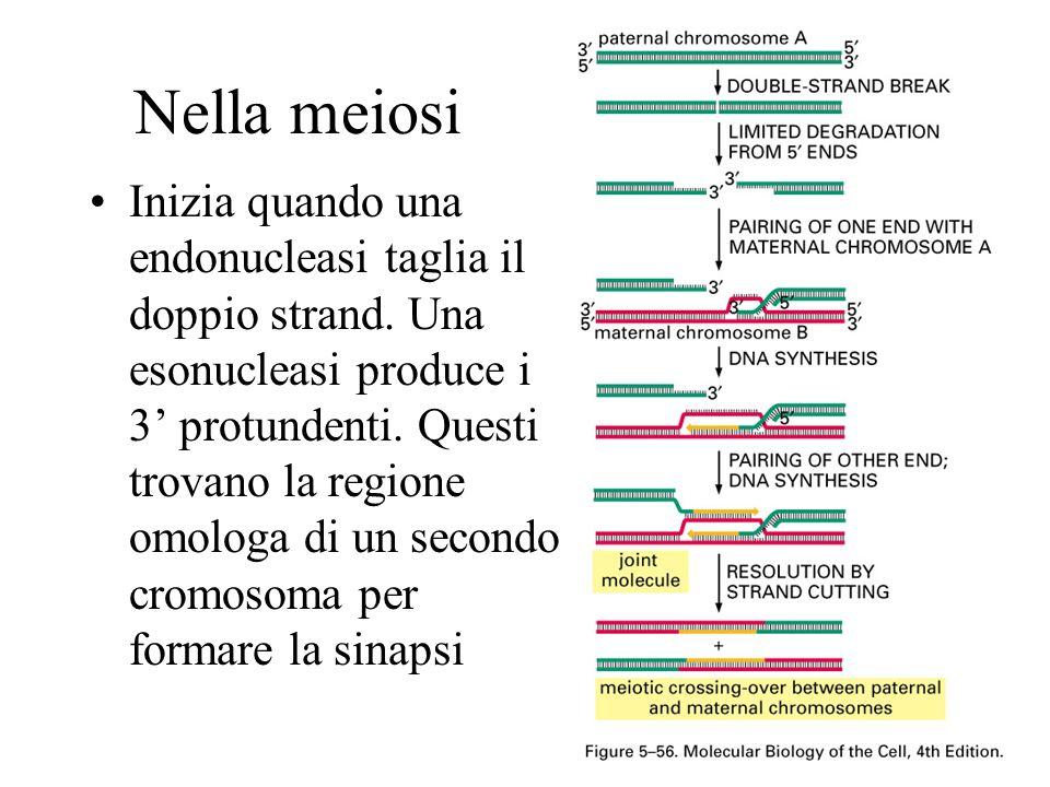 Nella meiosi Inizia quando una endonucleasi taglia il doppio strand. Una esonucleasi produce i 3 protundenti. Questi trovano la regione omologa di un