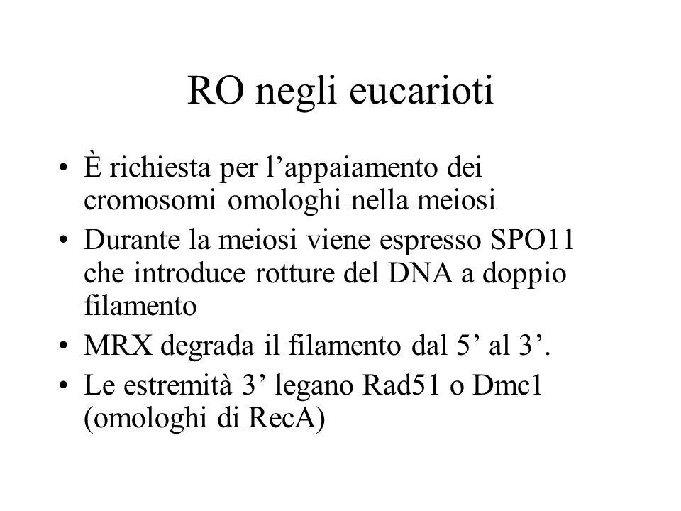 RO negli eucarioti È richiesta per lappaiamento dei cromosomi omologhi nella meiosi Durante la meiosi viene espresso SPO11 che introduce rotture del D
