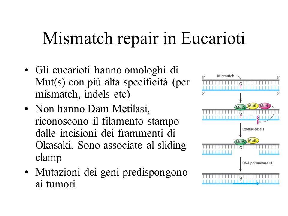 Mismatch repair in Eucarioti Gli eucarioti hanno omologhi di Mut(s) con più alta specificità (per mismatch, indels etc) Non hanno Dam Metilasi, ricono
