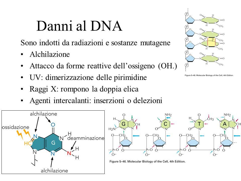 Danni al DNA Sono indotti da radiazioni e sostanze mutagene Alchilazione Attacco da forme reattive dellossigeno (OH.) UV: dimerizzazione delle pirimid