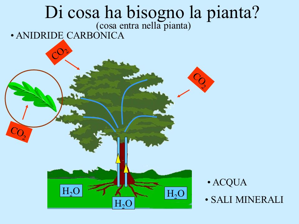 Di cosa ha bisogno la pianta? H2OH2O H2OH2O H2OH2O ACQUA SALI MINERALI ANIDRIDE CARBONICA CO 2 (cosa entra nella pianta)
